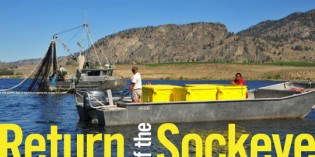 Return of the Okanagan Sockeye