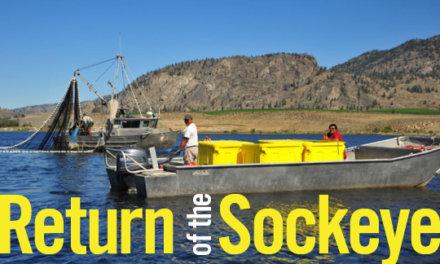 Return of the Okanagan Sockeye