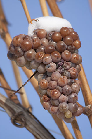 Ice wine harvest 2013 to set record