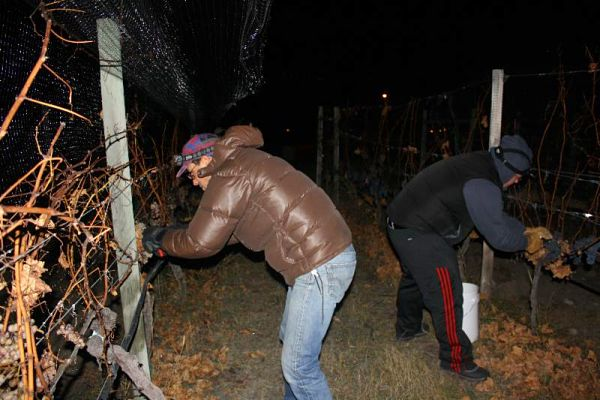 Ice wine harvest arrives early in the Okanagan