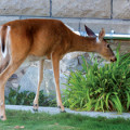 keep-deer-out-of-garden-plants