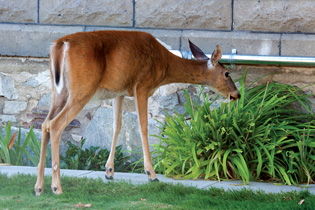 Urban wildlife worries: Keeping deer out of the garden
