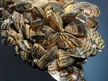 zebras-mussels-okanagan-waterways