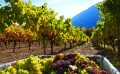 Shuswap wineries showcase distinct character of an emerging wine region