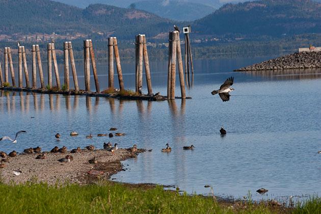 Bird's-eye view: Watching osprey at Salmon Arm Bay