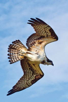 Getaways-Salmon-Arm-osprey