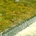 Kokanee-Salmon-Festivals