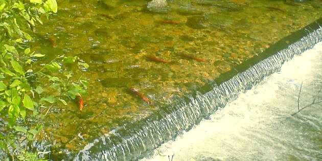 Kokanee Salmon Festivals Celebrate the Returning Reds