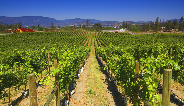 Grape crop report: more vibrant BC white wines to enjoy this season