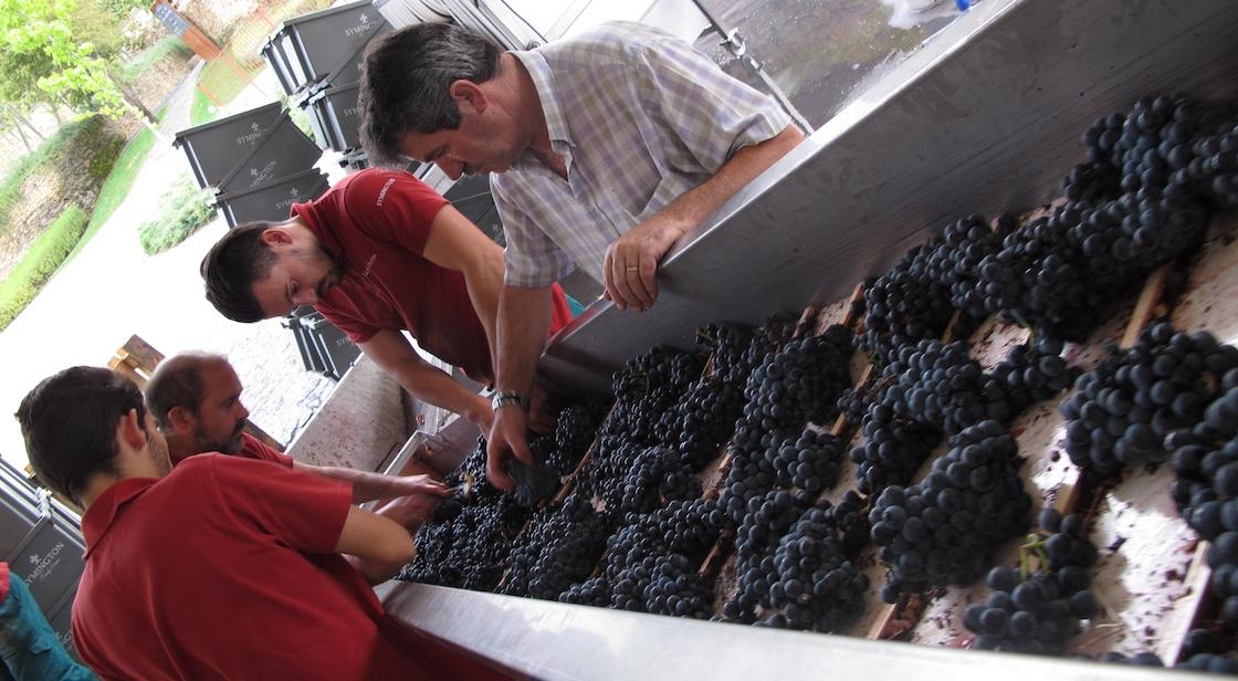grape-harvest-portugal