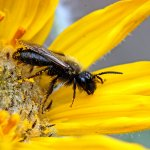 New tool helps estimate spread of genetically modified pollen