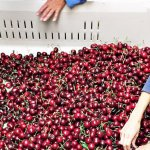 BC Tree Fruits anticipates record cherry volumes for 2017