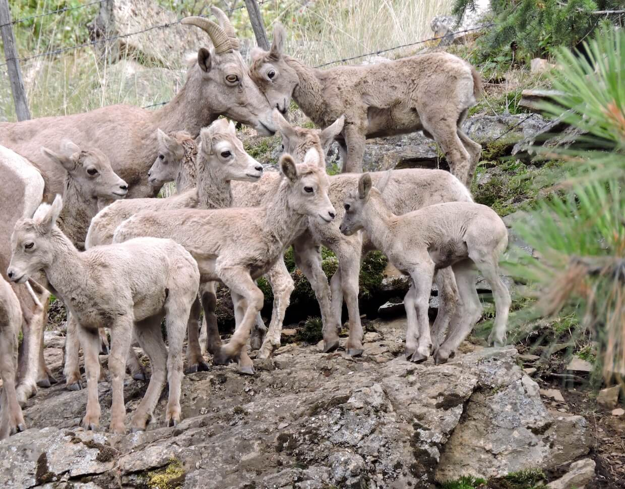 Home for bighorn