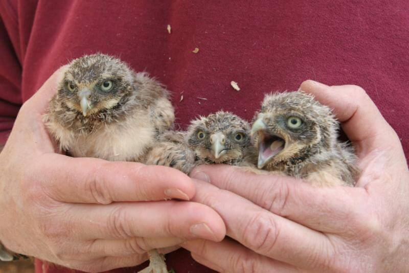 Helping endangered owl, Burrowing Owl's charitable contributions soar past $1 million