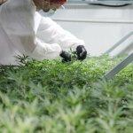 DOJA makes marijuana moves in Okanagan